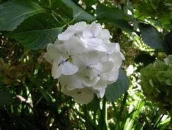 blue dot centers white hydrangeas flowers in garden.JPG