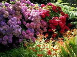Hydrangea garden flowers in pink and red pictures.JPG