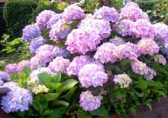 Light Pink And Purple Hydrangea Flowers In Garden Boxg