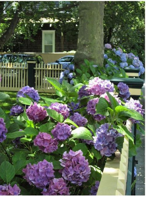 Pretty front yard garden flowers with full of purple hydrangea flowers.JPG