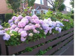 Pretty garden flowers of hydrangea flowers on the side walk.JPG