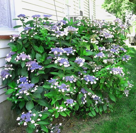 Purple and white hydrangea flowers for your garden.JPG