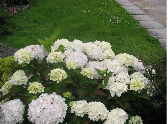 White Garden Hydrangea Flower Jpg