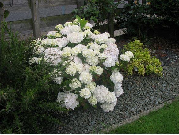 White hydrangea flowers for your gardeng mightylinksfo