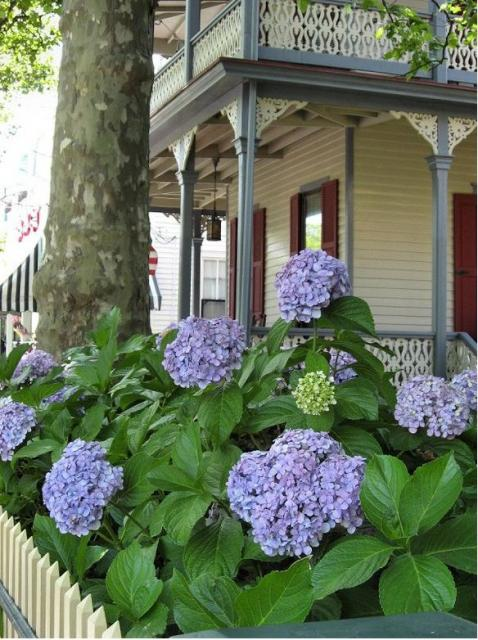 Big Balls Of Hydrangea Flowers In Purple Color In Front Of