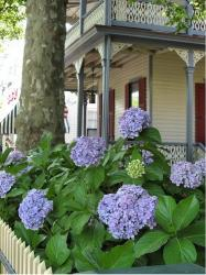 Big balls of hydrangea flowers in purple color in front of a victorian house.JPG