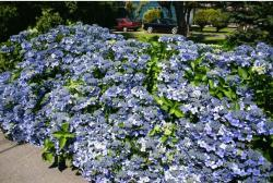 blue hydrangea flowers for your garden picture.JPG