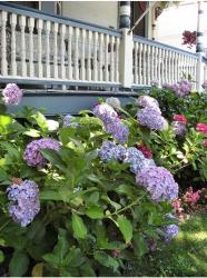 blueish purple hydrangea garden flowers on the front porch.JPG