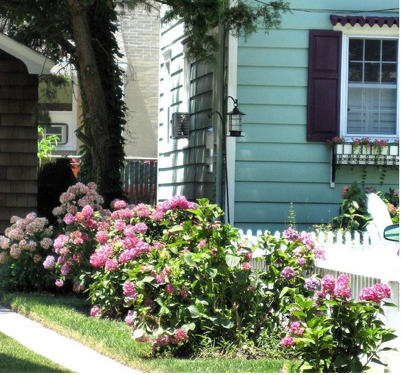 Small Garden Yard With Cute Purple Plants Contemporary: Bright Pink Hydrangea Flowers In The Sun On The Front Yard.JPG