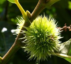 Spiky tree fruit.JPG