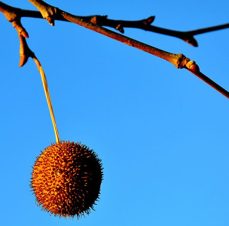 Sycamore Fruit Tree in orange color.JPG