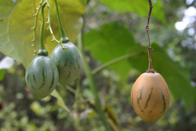 Tamarillo Cyphomandra betacea tree with very cool looking fruits in green and peach colors.JPG