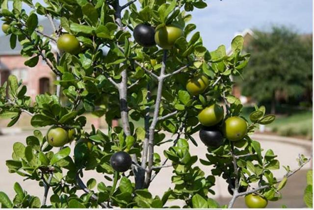 Texas Persimmon fruit tree (Diospyros texana).JPG
