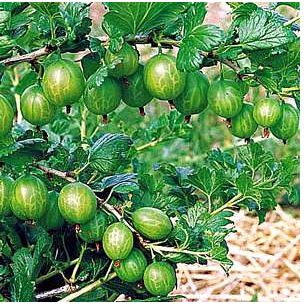 Tree fruits Gooseberry photos.JPG