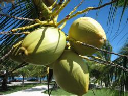 tropical coconut tree.JPG