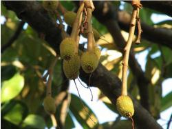 Tropical Fruit Tree - baby Durian.JPG