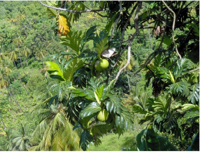 Nursery Plants Tropical Fruit Tree