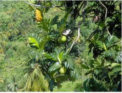 Tropical fruit trees image.JPG