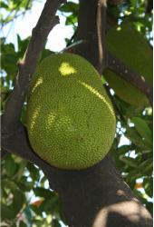 Very big Jack Fruit Tree.JPG