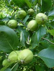 Very young apple tree picture.JPG