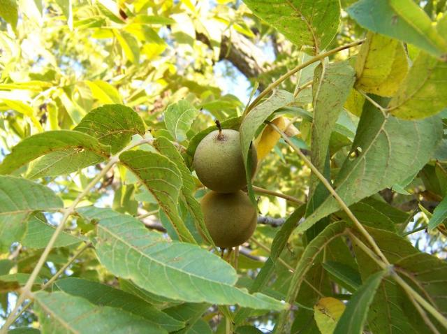 Walnut fruit tree photos.JPG