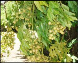 Wampee fruit trees pictures.JPG