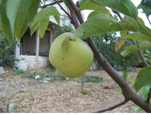 white apple fruit tree_good fruit tree nursery.JPG