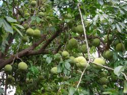 White Sapote fruit trees.JPG