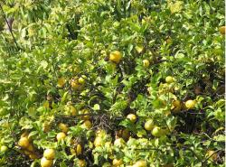 Yellow lemon fruit tree photo.JPG