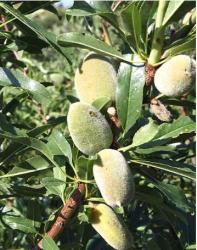Almond tree picture.JPG