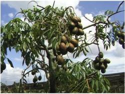 Ambarella fruit tree also call Spondias dulces tree.JPG