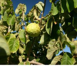 Annona cherimola fruit tree images.JPG