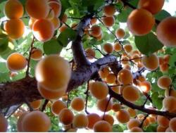 Apricot fruit tree phots.JPG