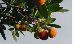Arbutus unedo-Strawberry tree.JPG