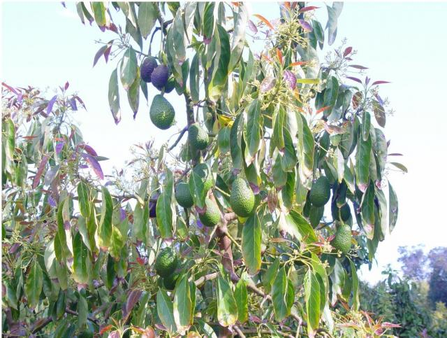 Avocado fruit tree picture.JPG