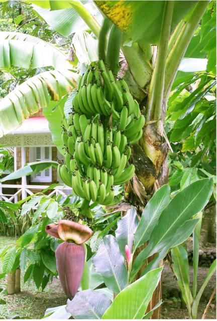 Banana tree full of fruit.JPG