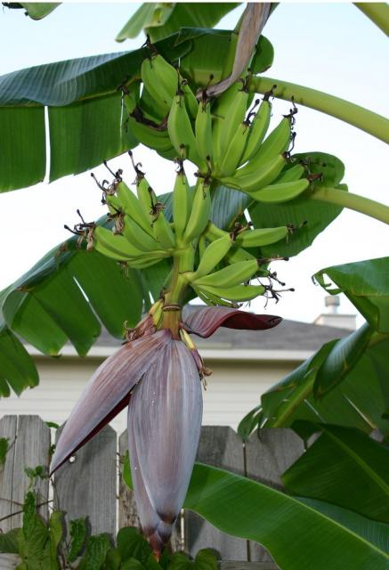 Banana tree with full fo fruit.JPG