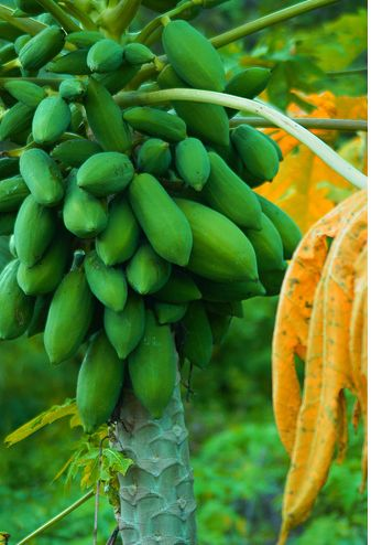 Beautiful Papaya Tree with full of fruits.JPG