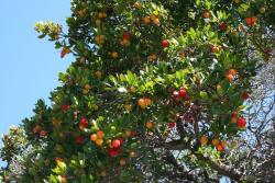 Big Colorful Fruit Tree picture.JPG