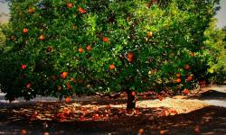 Big fruit tree with ornage fruit.JPG