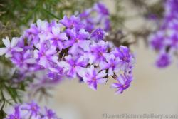 5 Petal Light Purple and White Flower from Trogir Croatia.jpg