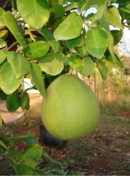 big Pomelo fruit tree.JPG