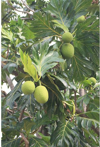 Bread Fruit Artocarpus Altilis fruit tree.JPG