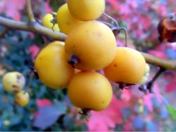 Bright color fruit tree in yellow.JPG