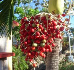Bright red Palm Tree fruit photos.JPG