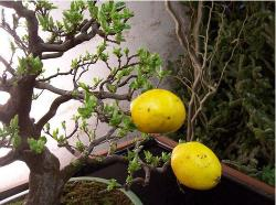 Bright yellow Bonsai Quince Fruit tree.JPG