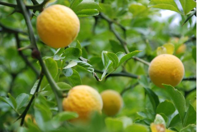 Dates fruit in spanish in Sydney