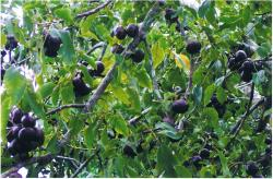 Burdekin Plum fruit tree pictures.JPG