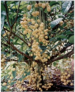 Burmese Grape tree also known as Baccaurea sapida fruit.