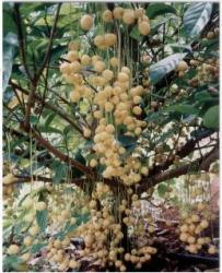 Burmese Grape tree also known as Baccaurea sapida fruit.JPG